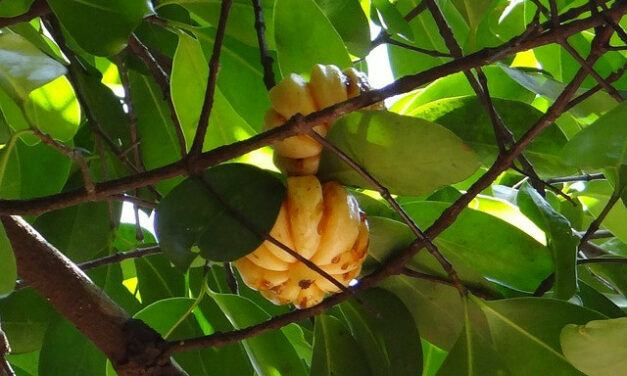 Garcinia Cambogia and Hypertension – Can You Take Garcinia Cambogia with High Blood Pressure?