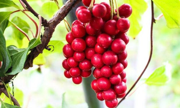 Schisandra for Diabetes – Is Schisandra Chinensis Safe for Diabetics?